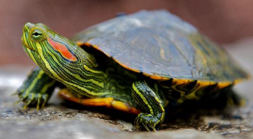 Красноухие черепахи: уход и забота
