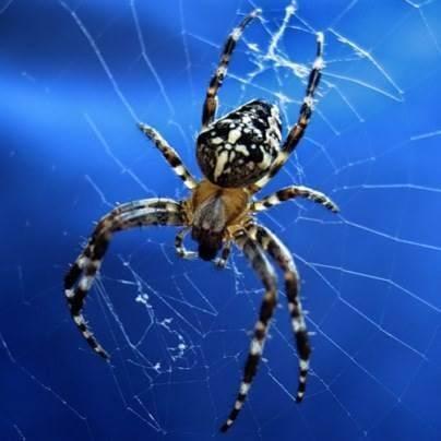 совершенный паук