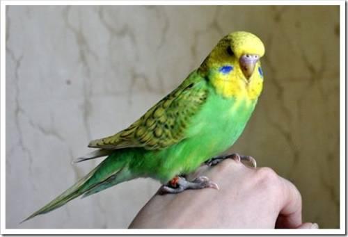 Основной рацион попугая