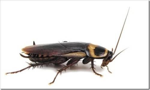 Самый простой способ уничтожит тараканов