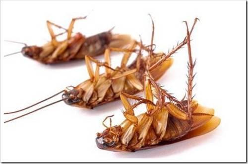Стоит ли пытаться уничтожить тараканов самостоятельно?