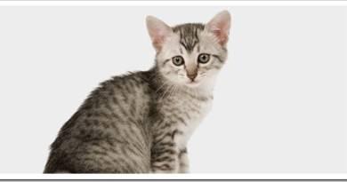 Котенок какой породы лучше для ребенка