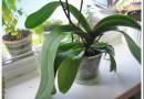 Орхидея не цветет: что делать, чтобы зацвела