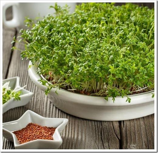 Культуры микрозелени, которые обладают гастрономическим потенциалом
