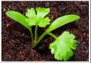Выращивание кинзы: все тонкости